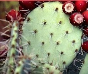 Prickly Pear for Anti-Aging