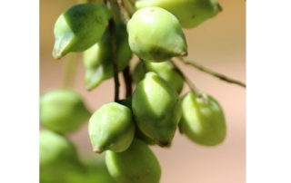 Kakadu plum benefits for skin