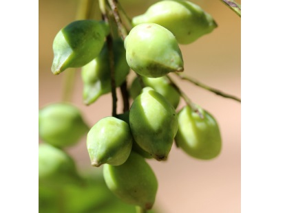 Kakadu plum benefits for skin