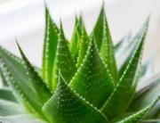 Aloe Vera Natural Skin Care ingredient