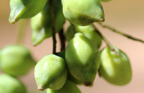 Kakadu Plum anti-aging benefits