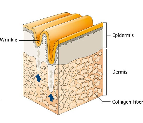 layers of the skin diagram